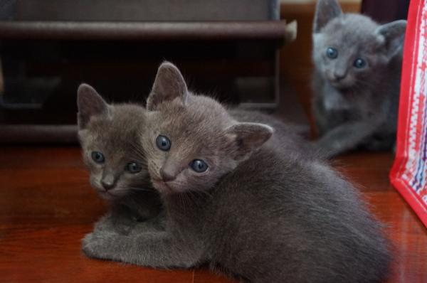 kittens korat cat1