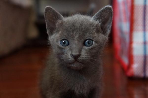 kittens koratcat2