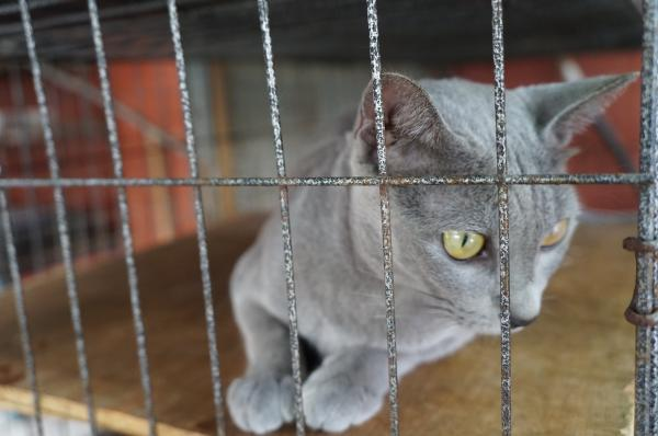 korat cat momo1