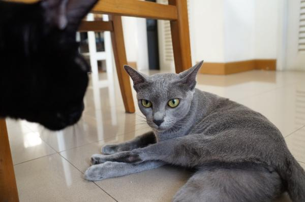 korat cat momo4