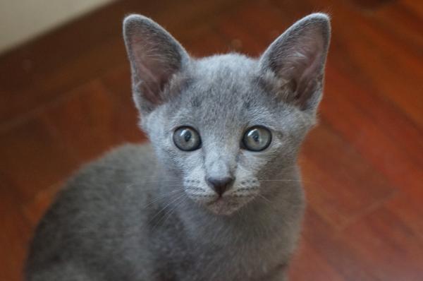 kitten korat cat1