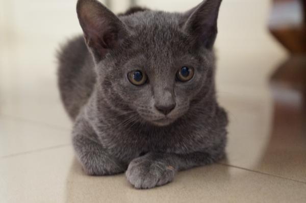 kitten koratcat1