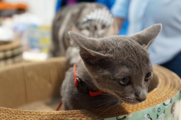 kitten koratcat4