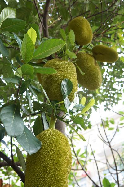 jackfruits2