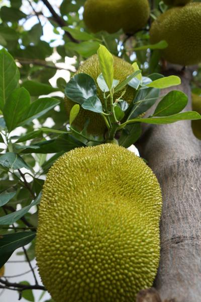 jackfruits1