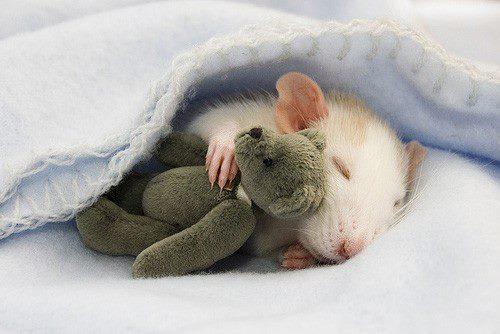 cute rat-1