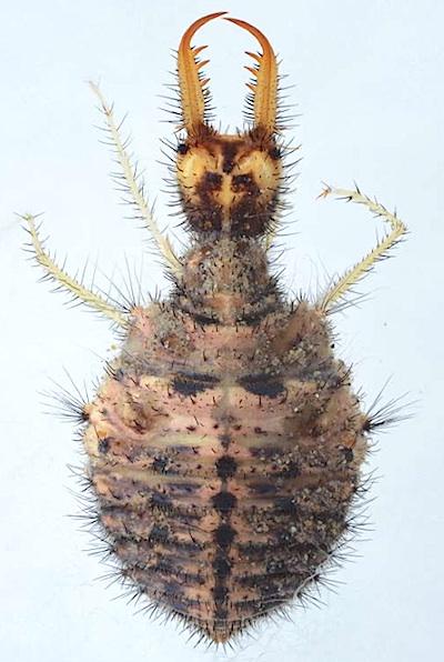 ウスバカゲロウ類の幼虫の1種