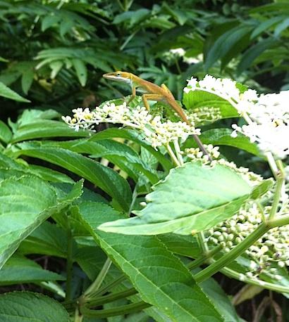 花の上のグリーンアノール