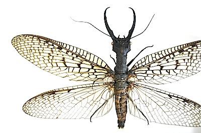 キバヘビトンボ属の1種のオス