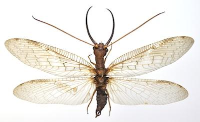 オオアゴヘビトンボ属のオス