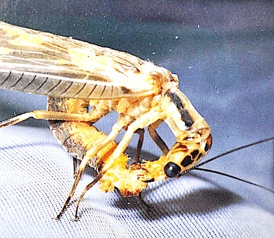 精包を食べるヘビトンボのメス