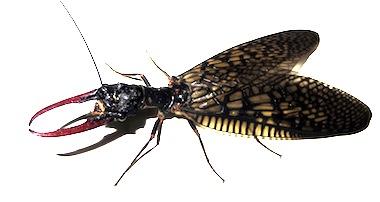 キバヘビトンボの1種