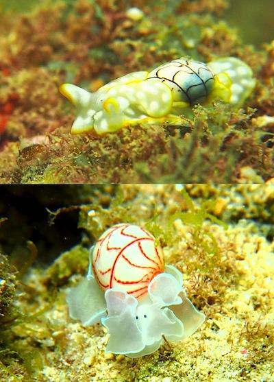 貝殻付ウミウシ