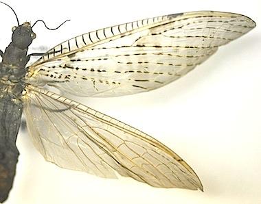 Anachauliodes属