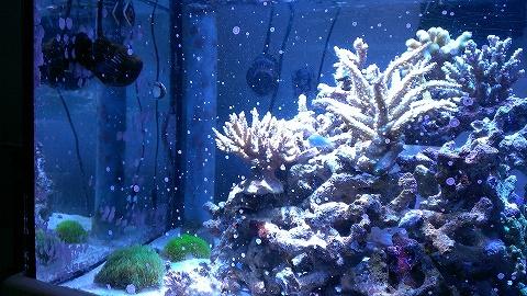 石灰藻20141228