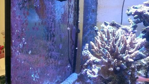 大量発生20150221_石灰藻