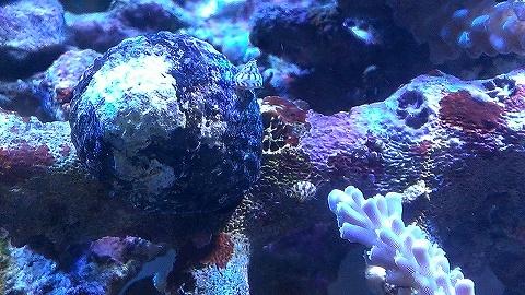 大量発生20150221_タカセ貝?02