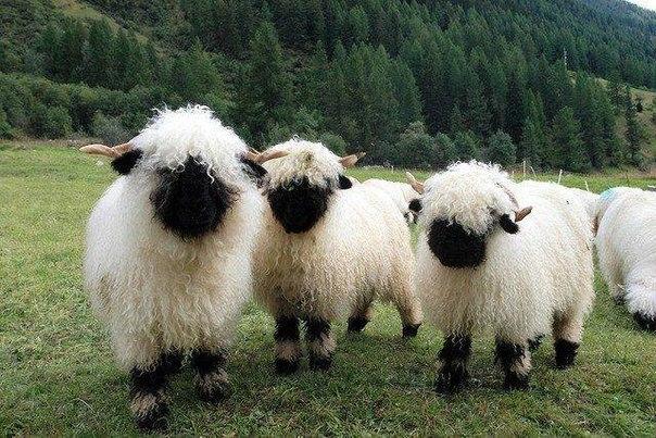 31(羊さん)image
