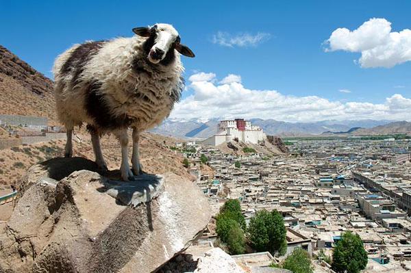 新年(ラサ辺りの羊さん)image
