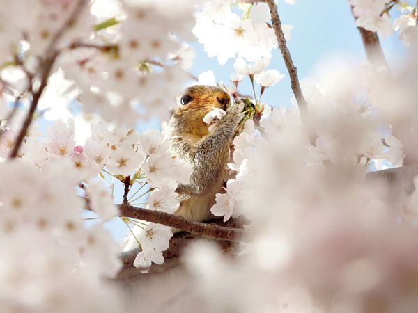 桜(リスさんと桜)image