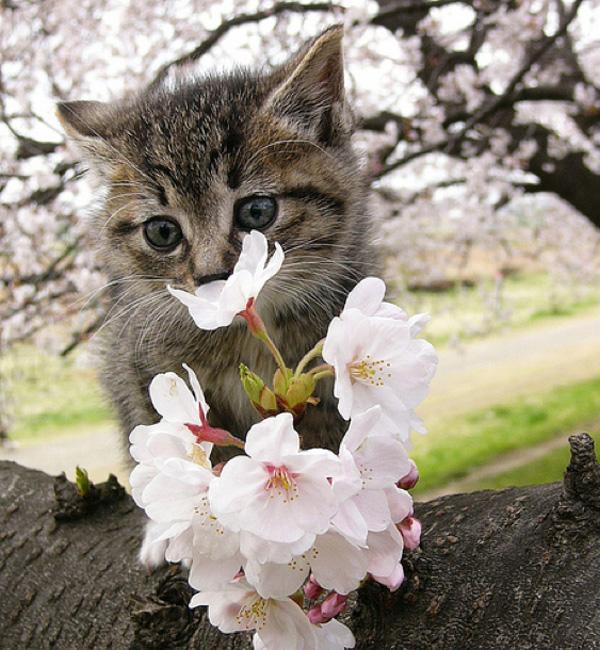 桜(子猫と桜)image