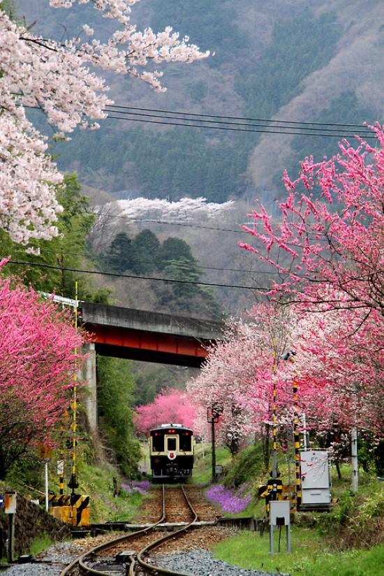 身体(修飾画電車と山桜)image