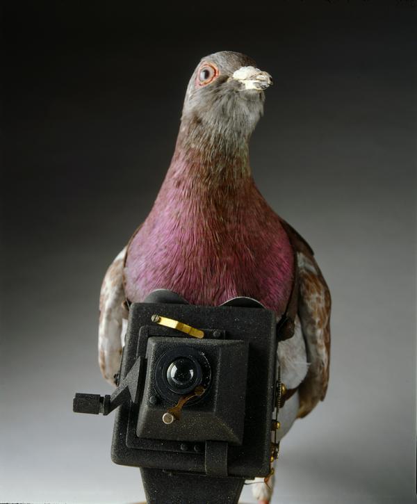スパイ(第一次世界大戦のときの偵察用鳩)image