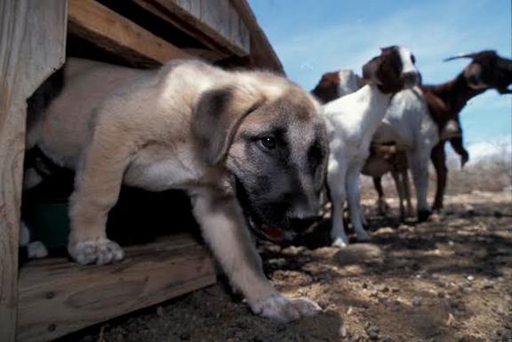 古い犬種(CCFの子犬さん)image