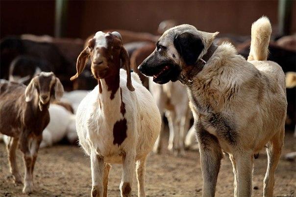古い犬種(わんこさんとヒツジ)image