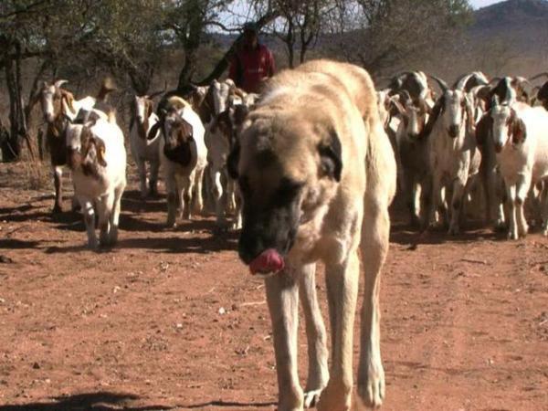 古い犬種(ナミビアにて)image_convert_20150408221958