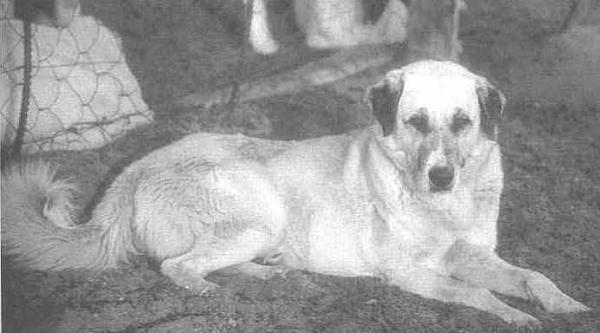 古い犬種(フリンティス近影)image_convert_20150408235940