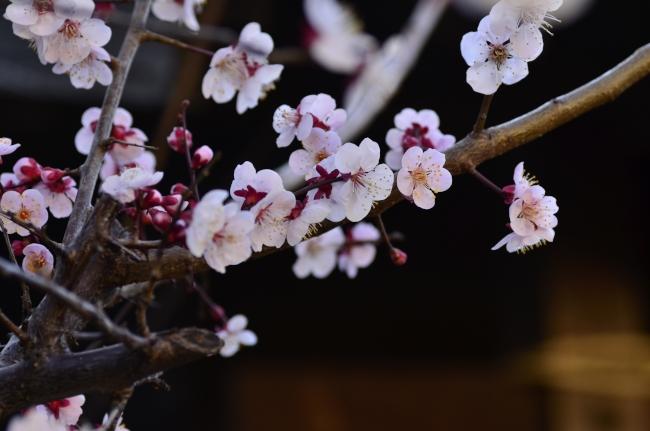 八雲神社の梅