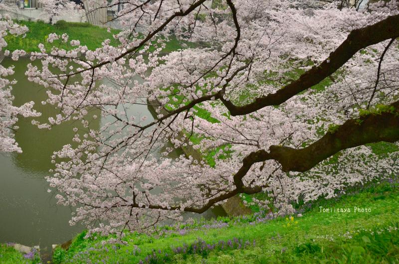 にほんの桜