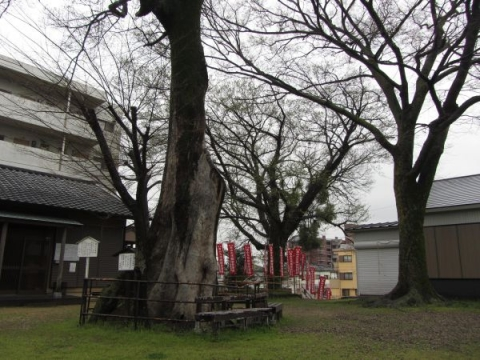 白山神社の大椋