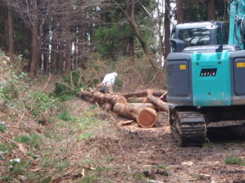 伐採作業見学