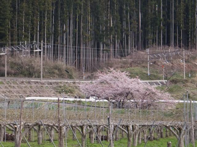 27-04-09 南福島桜 fuji 013 (640x479)