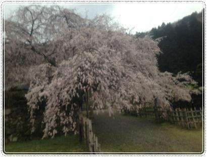 しだれ桜 定光寺