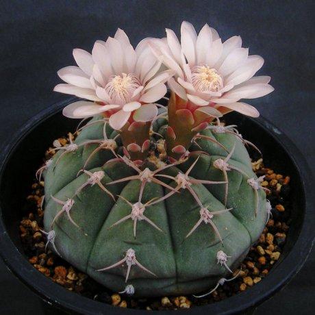 Sany0018--bayrianum--Sierra Ancasti near El Alto--Amerhauser seed (1998)--Tutiya