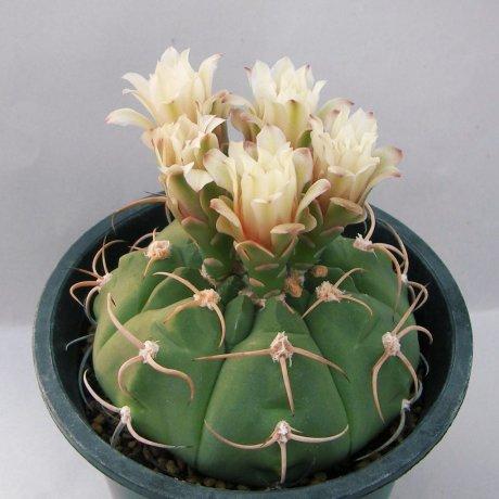 Sany0162--bayrianum--ex Koekres seed