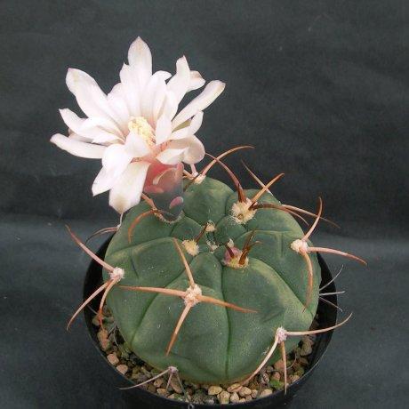Sany0199--bayrianum--STO 641--El Brete Catamarca--Mesa seed 457.22