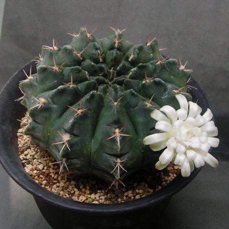 150606--Sany0177--rotundicarpum--Piltz seed 3293