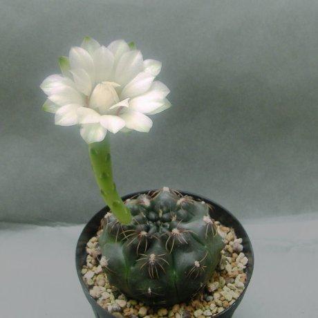 Sany0180--erolesii--STO 1831--R 11 N of Vera Santa Fe--Amerhauser seed