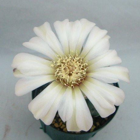 Sany0007--schroederianum ssp boesii--Piltz seed3402--ex Shimada