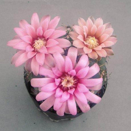 Sany0194--quehlianum v rinconada--Jecminek seed 0-2776A