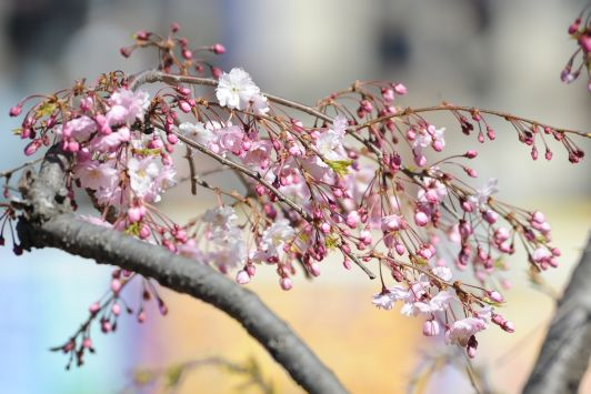 桜 in 仁川