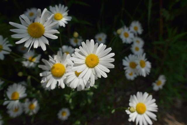 daisy0614.jpg
