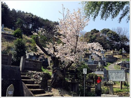ogorizakura_02.jpg