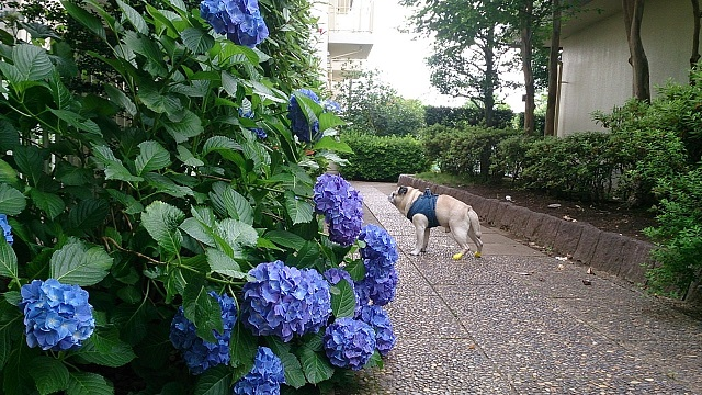 これ、ウチの前の紫陽花