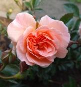 こんなバラ