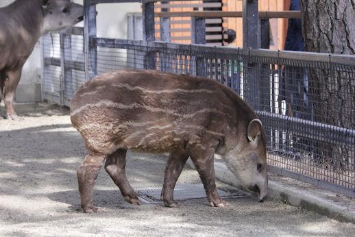 '15.2.28 baby tapir 9400